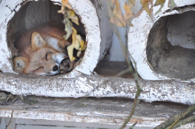 Müder Fuchs im Wildpark Poing