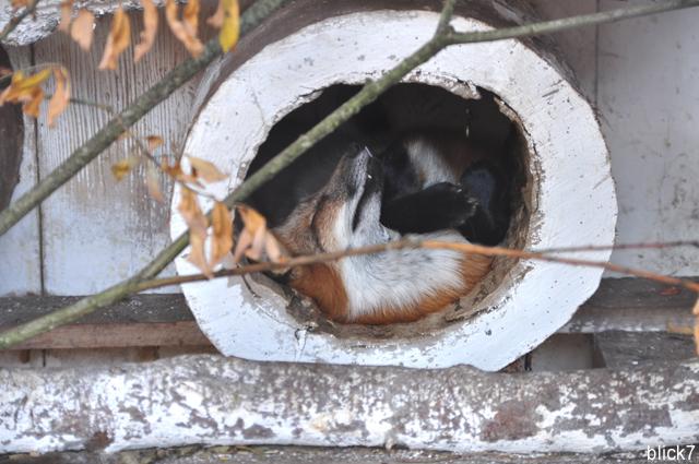 schlafender Fuchs im Wildpark Poing