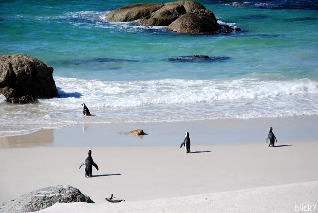 Brillenpinguine am Boulders Beach in Simon's Town bei Kapstadt