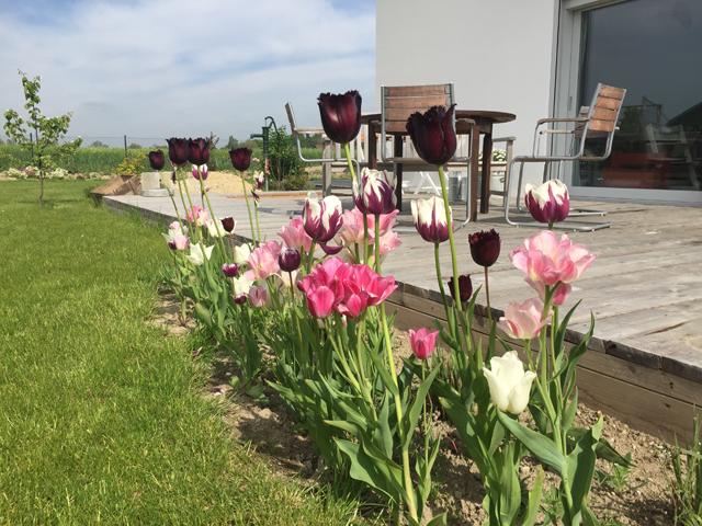 Tulpen im Garten vor der Terrasse