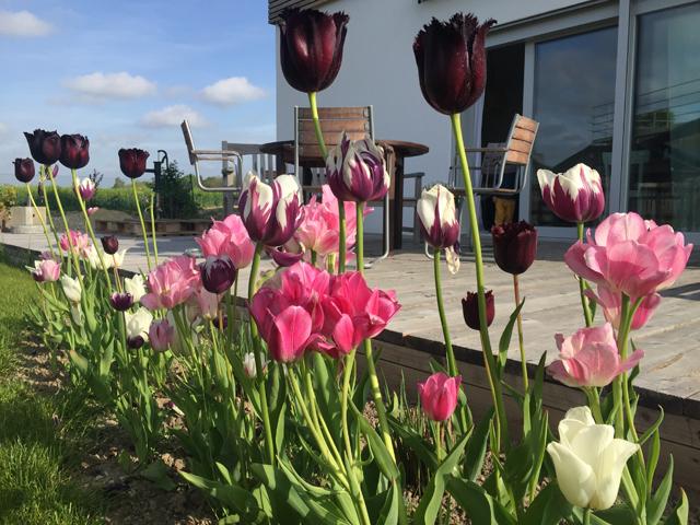 Tulpen vor der Terrasse